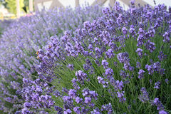 Lavender spike growing in a bunch of purple fragrance. Deep purple lavender spike growing from a mound of flowers Lavandula angustifolia Stock Images