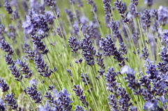 Free Lavender Spike With Opened And Unopened Flowers In Purple And Green Stock Photos - 96247213