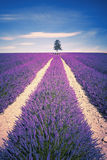 Lavender spirit Stock Photo