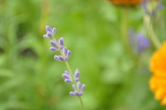 Lavender. Sprig of lavender in my garden Royalty Free Stock Images