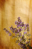 Lavender sprig on watercolour background Stock Images
