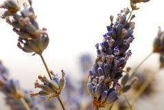 Lavender sprigs Stock Image