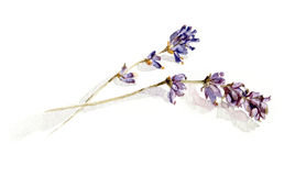 Lavender sprigs. A watercolour sketch of lavender sprigs Stock Photo