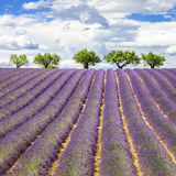 Lavender square Royalty Free Stock Photos