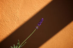 Lavender stalk in bloom. A single stalk of lavender plant with flowers at the tip stands out against an orange wall, with sunshine and shadow Royalty Free Stock Photo