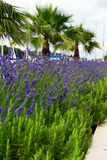 Lavender in Stari Grad on Hvar island, Croatia Royalty Free Stock Photo