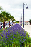 Lavender in Stari Grad on Hvar island, Croatia Stock Photo