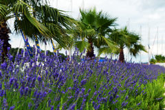 Lavender in Stari Grad on Hvar island, Croatia Royalty Free Stock Image