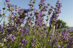Lavender stem with oil. In a field stock photography
