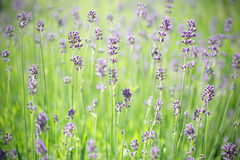 Lavender stems. Short deep of field on lavender stems in the meadow Stock Photography