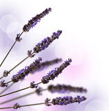 Lavender stems isolated on white Stock Photo