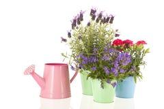 Lavender Stoechas royalty free stock photo