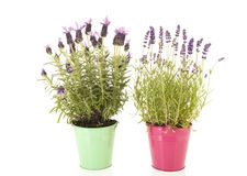 Lavender Stoechas and Lavandula Stock Images