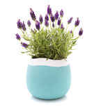 Lavender Stoechas plant. In a blue and white flower pot on white background royalty free stock photos