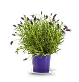 Lavender Stoechas plant in purple flower pot. On white background stock photos