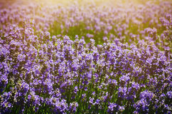Lavender Summer Field Royalty Free Stock Photo