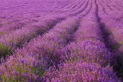 Lavender. Summer landscape with blooming lavender Royalty Free Stock Photos