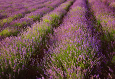 Lavender. Summer landscape with blooming lavender Stock Photography