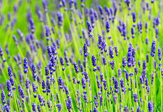 Lavender in summer time Royalty Free Stock Photos