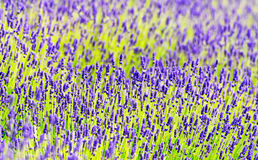 Lavender in summer time Royalty Free Stock Image