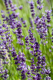 Lavender in the Sun Stock Photography