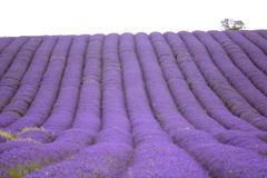 Lavender and sunflower field in Hitchin, England Stock Photography