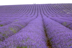 Lavender and sunflower field in Hitchin, England Royalty Free Stock Image