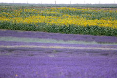 Lavender and sunflower field in Hitchin, England Stock Images