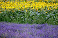 Lavender and sunflower field in Hitchin, England Stock Photo