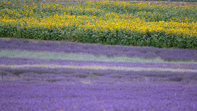 Lavender and sunflower field in Hitchin, England Royalty Free Stock Photos