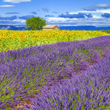 Lavender and sunflower field Stock Photo