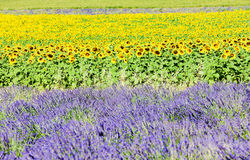 Lavender and sunflower fields Royalty Free Stock Images