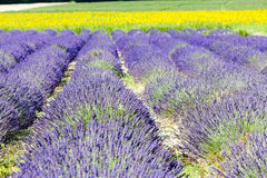 Lavender and sunflower fields Stock Image