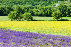 Lavender and sunflower fields Royalty Free Stock Image