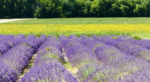 Lavender and sunflower fields Stock Photography