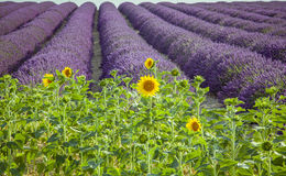 Lavender  with sunflowers Royalty Free Stock Photography
