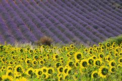 Lavender and sunflowers Royalty Free Stock Photo
