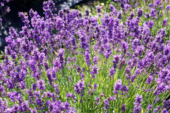 Lavender in the sunlight Royalty Free Stock Photo