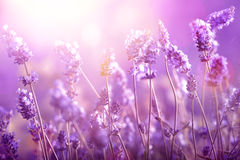 Lavender in sunlight. Lavender field in sunlight,Shallow Dof Royalty Free Stock Images