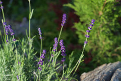 Lavender in sunlight Stock Photo
