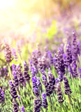 Lavender in sunlight Stock Photos