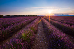 Lavender sunrise. Morning light on a lavander field in France stock photos