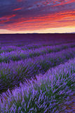 Lavender. Sunrise over Lavender field, Provence, France Royalty Free Stock Photos