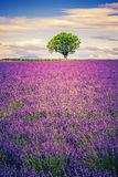 Lavender at sunset Stock Photography