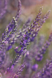 Lavender at sunset Royalty Free Stock Image