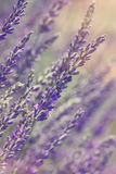 Lavender at sunset Royalty Free Stock Photo