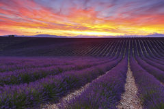 Lavender. Sunset over lavender field, Provence Stock Photos