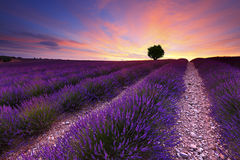 Lavender. Sunset over lavender field with a tree on the top of the hill, France, Provence Royalty Free Stock Image