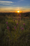 Lavender Sunset. Lavender plant basking in the last light of the day Royalty Free Stock Image