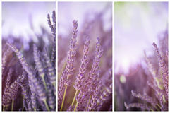 Lavender in sunshine triptych Stock Photo